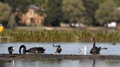 Freckled Duck and Swans (blachswan) Tags: ballarat victoria australia lakewendouree wetland freckledduck littlepiedcormorant blackswan silvergull