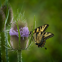 Sticky Landing (Portraying Life, LLC) Tags: michigan unitedstates butterfly prickly handheld nativelighting flower meadow invasive
