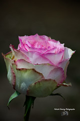Rose ( photopade (Nikonist)) Tags: rose affinityphoto imac nikon nikond70 fleur apple