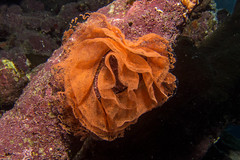 Gelege (hakbak) Tags: coral canon underwater redsea egypt stjohns scuba diving safari scubadiving gypten deepsouth tauchen unterwasser korallen ikelite seven7seas powershots95