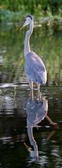 20150819-_74P3366.jpg (Lake Worth) Tags: bird nature birds animal animals canon wings florida outdoor wildlife feathers wetlands everglades waterbirds southflorida 2xextender sigma120300f28dgoshsmsports