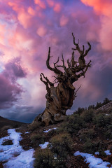 Gnarly Mammatus Madness (Michael Bandy) Tags: old trees sunset sky snow tree nature pine clouds landscape ancient nikon whitemountains sierras bristlecone easternsierras mammatus bristlecones