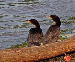 Adam & Eve (Jacques Trempe 2,320K hits - Merci-Thanks) Tags: bird river quebec wildlife stlawrence cormorant stlaurent oiseau fleuve cormoran faune stefoy