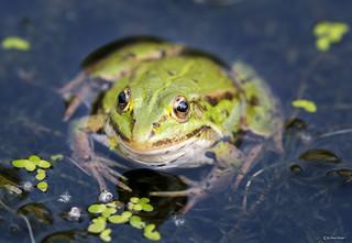 Frog's eye