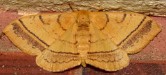 DSC_3005 (happy expat thailand) Tags: orangemoth moth thailand