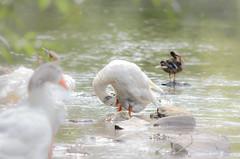 Badespa und Krperpflege  Teil 1 ( part 1) (thorvonasgard) Tags: bird nature water animal geese wasser schwimmen outdoor natur baden vogel gruppe pflege gnse spas flus prims