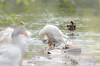 Badespaß und Körperpflege  Teil 1 ( part 1) (thorvonassgard) Tags: bird nature water animal geese wasser schwimmen outdoor natur baden vogel gruppe pflege gänse spas flus prims