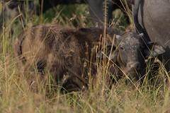 Buffalo calf (Lluniau Clog) Tags: kenya capebuffalo masaimara synceruscaffer africanbuffalo masaimaranationalreserve themara
