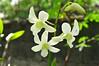 DSC_0185 (kenken.marilag) Tags: flower cow rice philippines farming nueva baka palay ecija lupao