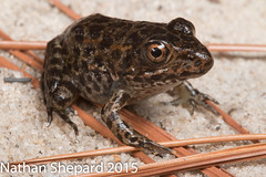 Rana capito (metamorph) (Nathan Shepard) Tags: history ecology canon risk nathan natural amphibian frog september carolina restoration endangered rana biology gopher decline extinction recovery shepard herpetology capito 2015 threatened 70d headstarting