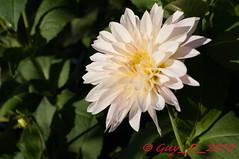 Dahlia blanc (Guy_D_2010) Tags: dahlia flower fleur nikon flor blumen blomma quintaflower bunga  blume fiore blomst gul virg hoa bloem lill blm iek  kwiat blodyn   lule kukka d90   cvijet  blth cvet  zieds  gl kvtina kvetina floare  chaumontsurloire languageofflowers   fjura   nikoniste pixelistes nikonfrance  voninkazo