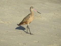Marbled Godwit (jdf_92) Tags: santamonica beach bird sandpiper california losangeles willrogersstatebeach marbledgodwit limosafedoa
