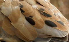 Mourning Dove (rudeyard) Tags: mourningdove molt hy modo hatchyear sanfranciscobirds faultbars