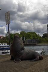 Posando.... (Cristian Alczar C.) Tags: chile clouds ro river nubes lobo marino costanera valdivia seawolf losros