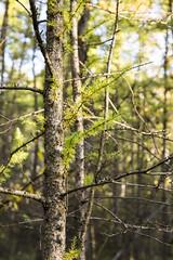 Tamarack (gamelaner) Tags: minnesota bog avon tamarack sna larixlaricina mndnr scientificandnaturalarea avonhillsforest