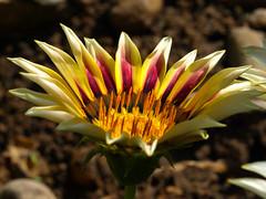 Gazania (Javier Garcia Alarcon) Tags: flowers flores flower macro flor gazania gazanias macrogazania flowercolors florcultivada ornamentalflower flowercultivation flordecolores florornamental macrodegazania