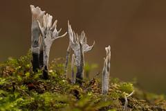 Candlesnuff fungus / Geweizwam (Kees Waterlander) Tags: emmerdennen geweizwam candlesnufffungus carbonantlers xylariahypoxylon drenthe nederland thenetherlands emmen
