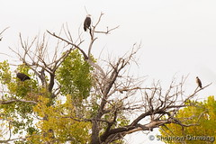 October 20, 2015 - Two Bald Eagles and a hawk visit the South Platte River. (Shannon Dizmang‎)