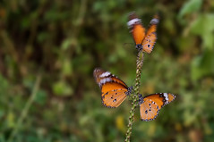 Plain Tiger in motion (Hitarth Joshi) Tags: orange india 3 motion blur green beautiful grass butterfly three tiger monarch plain mimicry gujarat vadodara
