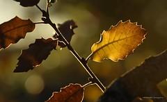 Suspiros de otoño (anpegom) Tags: autumn españa spain otoño monte palencia castillayleón roble dueñas torozos