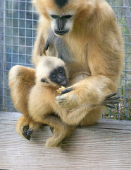 Gibbon baby and Mom Iggy (nhpanda (always trying to catch up....)) Tags: iggy paddy ape gibbon kien stonezoo zne whitecheekedgibbon zoonewengland