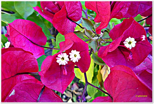 Florecitas de buganvilia...P1130361EP