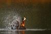 Clean as a whistle (hvhe1) Tags: africa wild bird nature animal river drops bath outdoor wildlife gambia splash waterfowl waterdrops whitefacedwhistlingduck dendrocygnaviduata marakissa specanimal dendrocygneveuf witwangfluiteend hvhe1 hennievanheerden specanimalphotooftheday witwenpfeifgans marakissarivercamp witwangboomeend