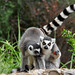 Fort Worth - Ring-tailed Lemur