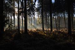 Herbstwald | Woodland in autumn (MLopht | Dortmund) Tags: herbst wald sonne diehaard haard datteln herbstwald sonnenstrahlen sonnenschein herbstsonne canoneos7d canon eos 7d mkii 24mm landschaft schonung nadelwald nadelholz