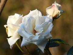 Roses (teressa92) Tags: flower rose roses light rosebud latelight teressa92 stems white petals gardenplant dof shade leaf