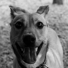 Kangaroo14Jan1700065-Edit.jpg (fredstrobel) Tags: dogs pawsatanta phototype atlanta blackandwhite usa animals ga pets places pawsdogs decatur georgia unitedstates us