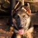 17.01.19 -  GSD Puppy