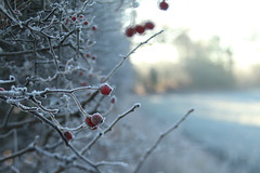 Red and White (jillyspoon) Tags: berries red white hoar frost winter wintery cold icy redberries redandwhite canon70d canon 70d niddgorge rivernidd twigs branches bilton harrogate northyorkshire lensbaby edge50 explore