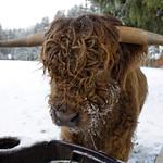 Portrait vache au 40mm thumbnail