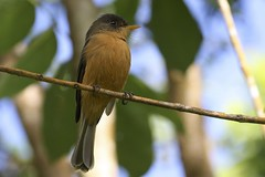 Lesser Antillean (St. Lucia) Pewee
