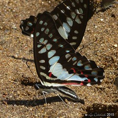 Common jay (LPJC) Tags: d11 kerala india 2015 lpjc butterfly commonjay graphiumdoson swallowtail