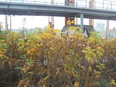 1376 (en-ri) Tags: cespuglio sony sonysti foglie leaves giallo verde
