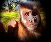 Macho de macaco-prego (Sapajus nigritus) (marianaplorenzo) Tags: uel universidade estadual de londrina sapajusnigritus sapajus macacoprego macacos capuchin monkey