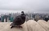 Empire state pigeon (alf.branch) Tags: newyork manhattan empirestate america pigeon olympus olympusomdem5mkii zuiko ziuko918mmf4056ed alfbranch