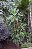 Cordyline manners-suttoniae F.Muell. - BG Berlin-002 (Ruud de Block) Tags: berlinbotanicalgarden ruuddeblock asparagaceae taxonomy:binominal=cordylinemannerssuttoniae cordylinemannerssuttoniae