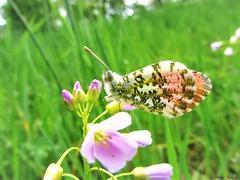 Butterfly 1136 (+450000 views!) Tags: butterfly borboleta farfalla mariposa papillon schmetterling فراشة