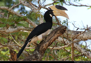 Malabar Pied Hornbill, Kataragama, Sri Lanka