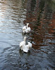 Beloved Brugge (Natali Antonovich) Tags: belovedbrugge brugge bruges belgium belgie belgique swans water canal birds tradition reflection parallels