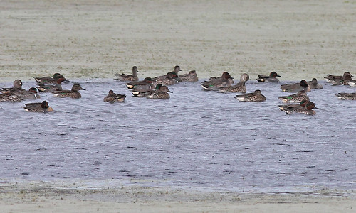 Green-winged Teal (Anas crecca)