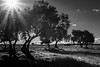 Olivos b/n (josesolisdelamorena) Tags: black white olives monochrome trees sun