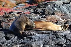 Fame (Roberto Lauro) Tags: viaggi travel ecuador galapagos canon wildlife natura nature leonemarino foca seal animali aninale
