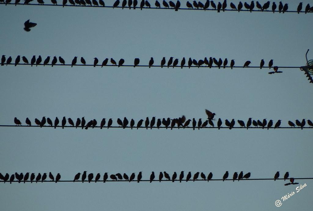 Águas Frias (Chaves) - ... bando de estorninhos descansando nos fios eletricos ...
