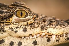 Cuban Croc Smile 3-0 F LR 1-27-17 J070 (sunspotimages) Tags: croc crocodile crocs crocodiles nature wildlife animals zoo zoos zoosofnorthamerica alligator fonz fonz2017 nationalzoo