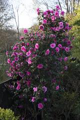Camellia × williamsii 'Donation' at sunrise (Four Seasons Garden) Tags: four seasons english garden uk west midlands walsall england early spring march camellia flowers pink williamsii donation