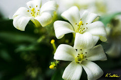 Murraya1.jpg (raysul) Tags: murraya macro flora floralart flower depthoffield orangejessamine closeup flowerphotography
